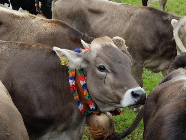 mangia minga // Da summa is umma - Viehscheid in Haldenwang