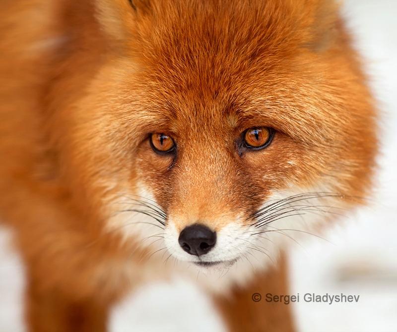 Amber eyes of a red fox by gladyshev_sergei   Patrick Ryan Photography