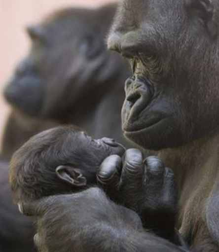 New Gorilla Survey Supports Fears of Extinction Within 10 years