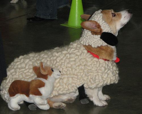 Corgi dressed as a sheep with stuffed Corgi dog.