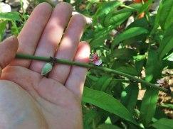 surprise peach tree