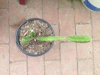 dragon fruit vine