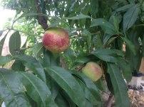 ripening nectarines