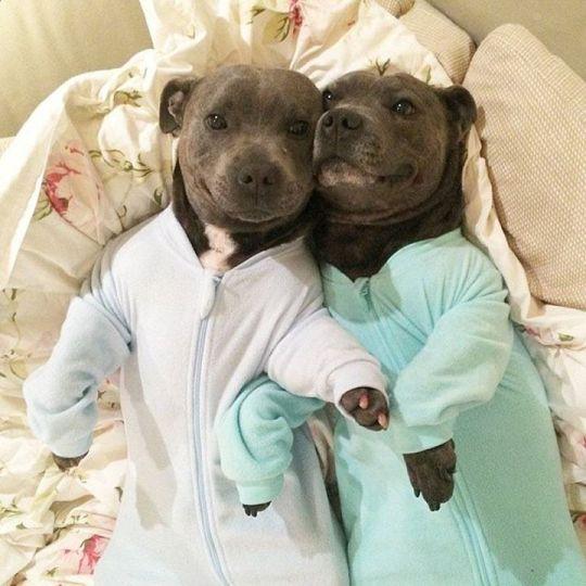 Pitbull puppies in Pajamas.