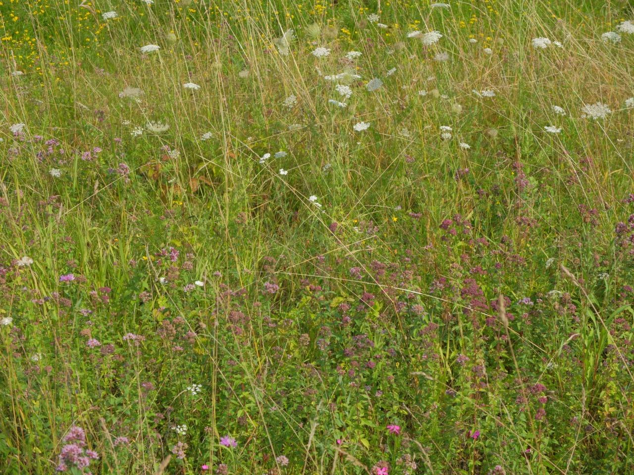 mangia minga // 'Wildkräuter: Foraging Wild Herbs' Wilder Oregano - wild oregano