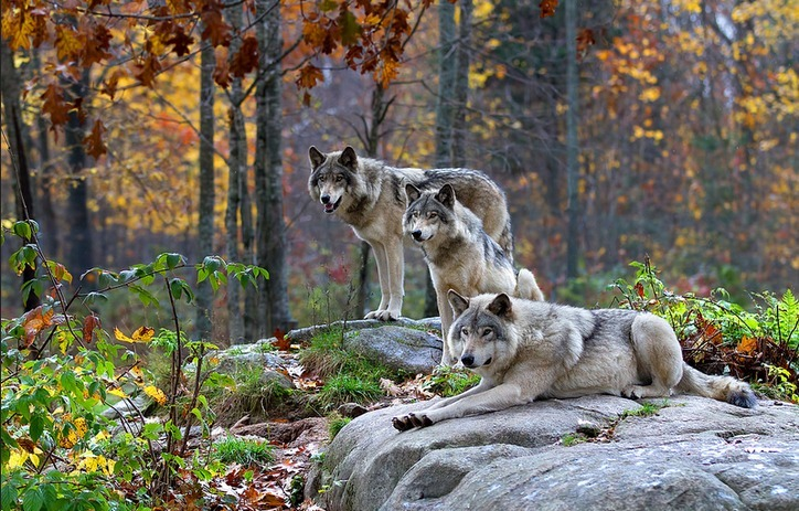 Image result for pictures of wolves in the forest