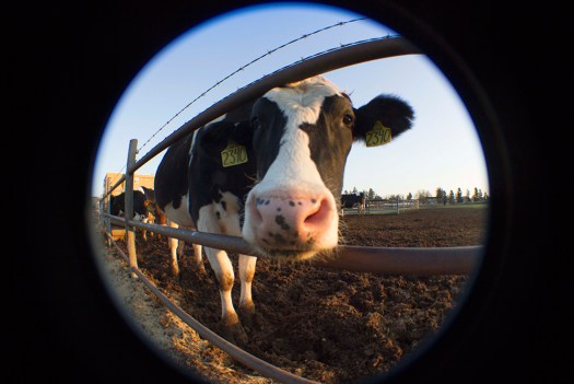Cow fisheye