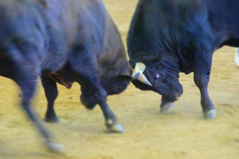 徳之島の闘牛祭のバトル