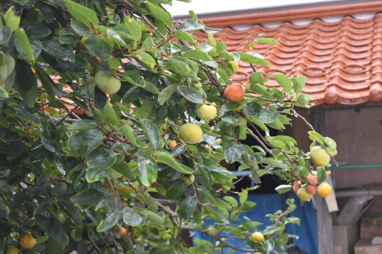 海士町の民家の庭になっていたおいしそうな柿