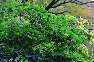 青森県の白神山地の紅葉