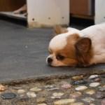 台湾の九份の街にいたカワイイ犬