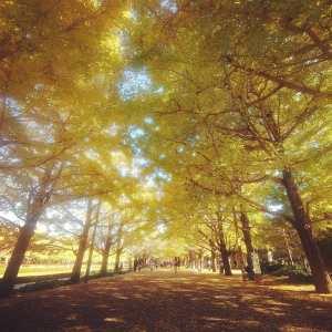昭和記念公園のいちょう並木
