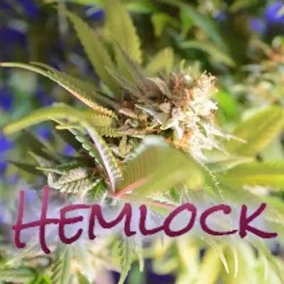 Hemlock Marijuana Strain Review