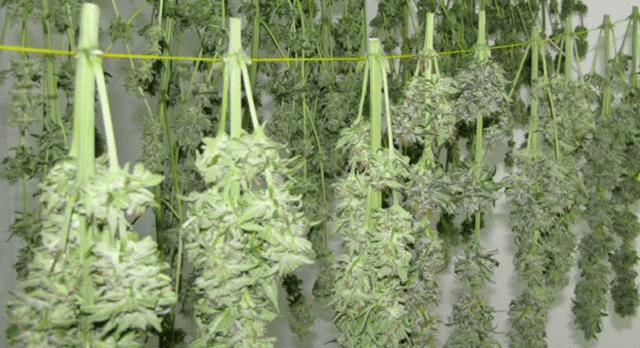Harvested buds hanging to dry - Weed Burnable and Tasty