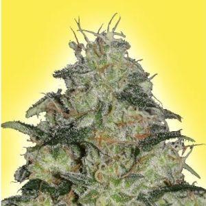 25% Off Northern Light Fem Seeds High Supplies Discount