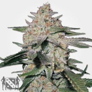 Northern Lights Cannabis Seeds MSNL Promo Discount