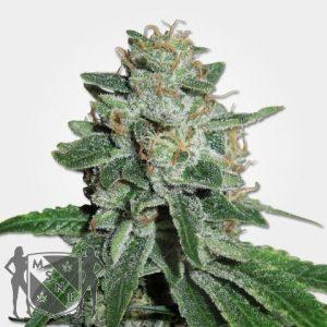Skunk #1 Cannabis Seeds MSNL Promo Discount