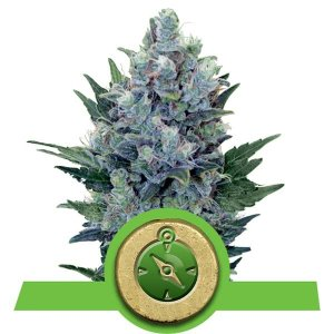 The Vault Northern Light Auto Seeds Deal