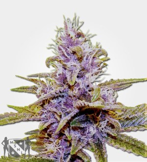 Autofem Blue Dream Cannabis MSNL Seed Promotion