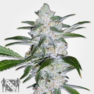 Bubble Gum Marijuana MSNL Voucher Discount