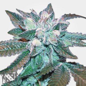 Hash Plant Marijuana MSNL Promo