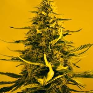 White Widow Cannabis Seed Nirvana Shop Cannabis Seeds Sale