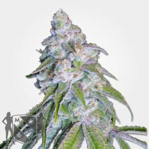 Neville's Haze Marijuana Seeds MSNL Promo Discount