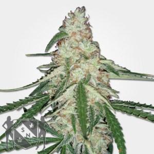 Old Skool Cannabis Seeds MSNL Sale