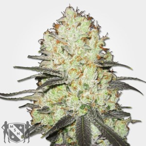 Strawberry Cough Marijuana Seeds MSNL Promo Discount