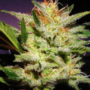 Amnesia Haze Cannabis Seeds Nirvana Shop 420 Sale