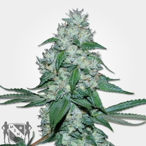 Great White Shark Cannabis MSNL Seed Promotion