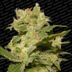 Auto Jack Cannabis Paradise Seeds Coupon Code