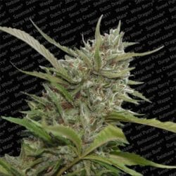 Auto Whiteberry Cannabis Paradise Seeds Coupon Code