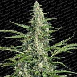 Pandora Cannabis Paradise Seeds Promotion