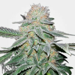 Crystal Cannabis Seeds MSNL Coupon Code Discount