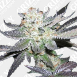 Purple Punch Fem Grizzly Seed Bank Coupon Code
