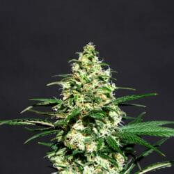 Amnesia K Lemon Cannabis Seeds Original Seeds Store Discount Code