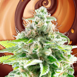 Cookies Haze Seeds Original Seeds Store Coupon Code