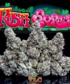 buy Jungle Boys Kush Sorbet #2 online, buy jungle boys kush sorbet online, Buy Kush Sorbet Jungleboys Online, jungle boys, jungle boys bags, jungle boys carts, jungle boys cookies, jungle boys dispensary, jungle boys extracts, jungle boys instagram, jungle boys kush sorbet, Jungle Boys Kush Sorbet #2, Jungle Boys Kush Sorbet #2 for sale, jungle boys kush sorbet for sale, jungle boys kush sorbet strain, Jungle boys Kush sorbet weed, jungle boys packaging, jungle boys seeds, jungle boys seeds for sale, jungle boys strain, jungle boys strains, jungle boys wedding cake, jungle boys weed, jungle boys weed strain, Kush Sorbet, Kush Sorbet Jungleboys for Sale, Kush sorbet strain, Kush sorbet weed, order jungle boys kush sorbet, order Jungle Boys Kush Sorbet #2 online, Order Jungleboys Online, Where to Buy Kush Sorbet Jungleboys, WHERE TO BUY KUSH SORBET JUNGLEBOYS ONLINE