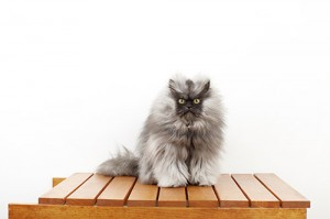 Colonel-Meow---Cat-With-The-Longest-Fur_0022-(2)