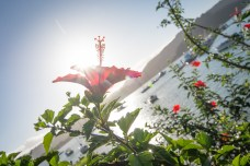 hibiscus in whangaroa harbour, sv cavalo
