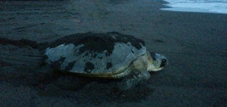 Turtle making her way back to the ocean in Tortuguero