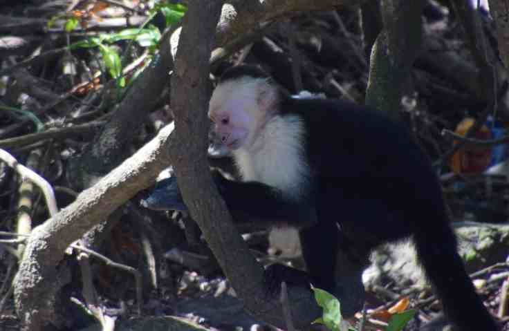 monkey on Ometepe
