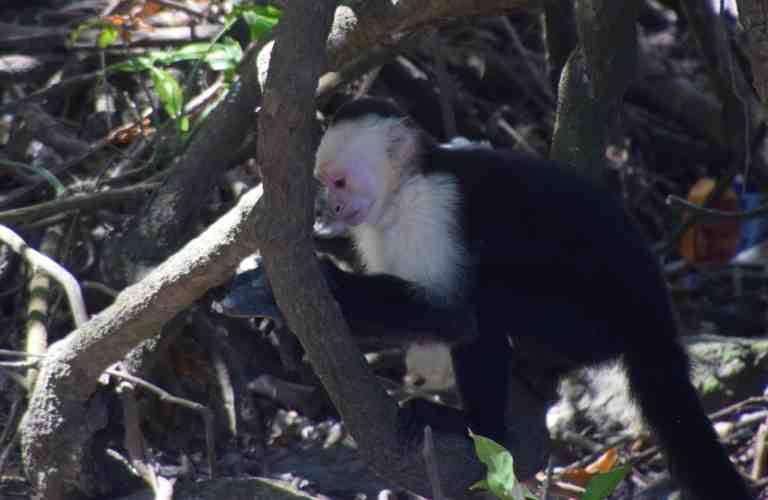 monkey on Ometepe