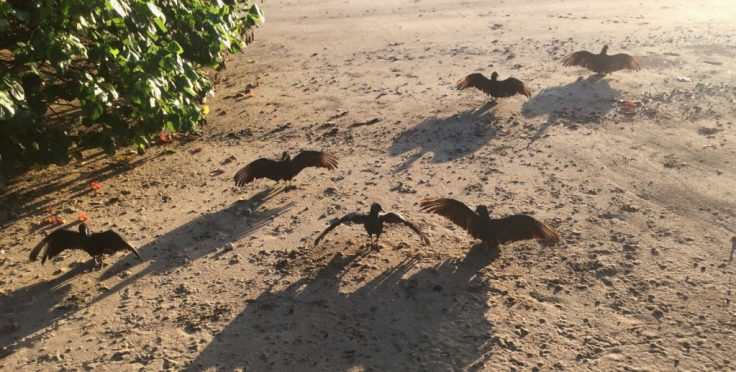 Vultures in Coiba