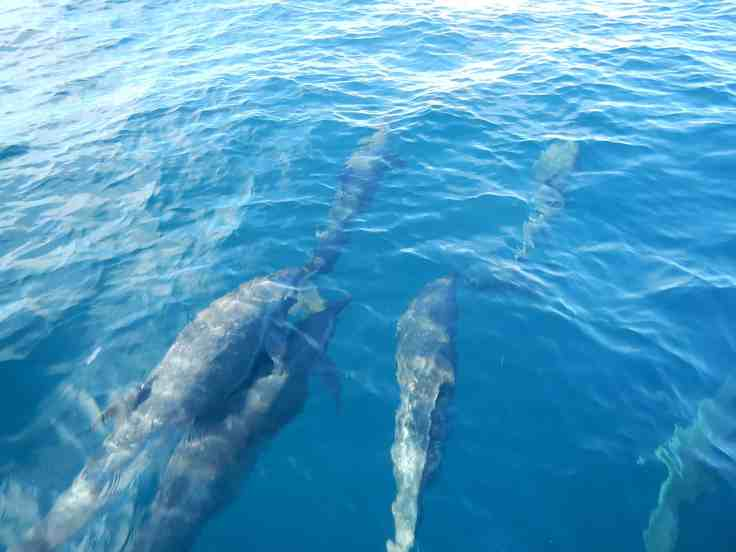 Dolphins in Coiba