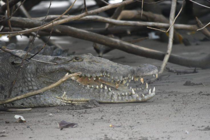 Crocodile in Coiba
