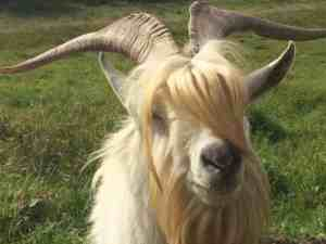 Long Haired goat posing in Villa de Leyva