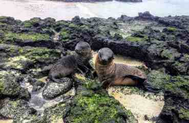 Playful baby sea lions
