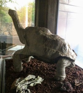 Lonesome George a male Pinta Island tortoise, the last known of his species